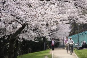 満開の桜の写真素材 [FYI03818129]