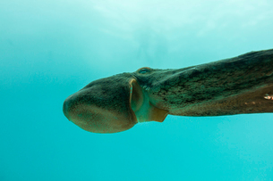 Low angle view of octopus swimming in seaの写真素材 [FYI03818985]