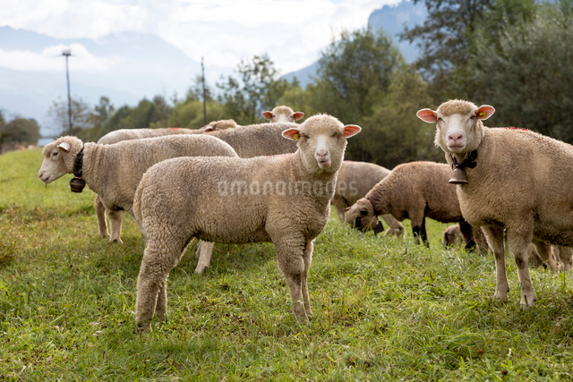 Sheep grazing on grassy field against skyの写真素材 [FYI03819019]