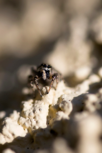 Overhead view of jumping spider on textured surfaceの写真素材 [FYI03819201]