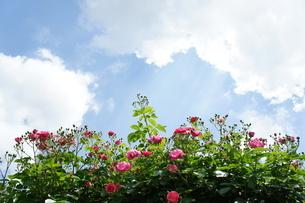 バラの花の写真素材 [FYI03820000]