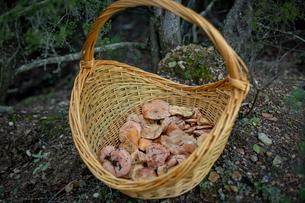 かごいっぱいに収穫されたキノコの写真素材 [FYI03820214]