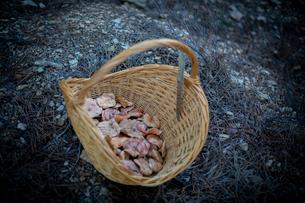 かごいっぱいに収穫されたキノコの写真素材 [FYI03820217]