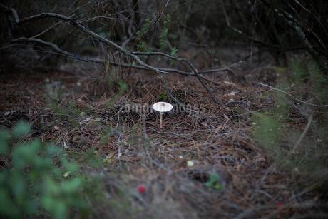 茂みの中に一本生えるキノコの写真素材 [FYI03820218]