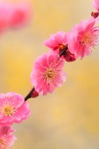 ウメの花の写真素材 [FYI03820551]