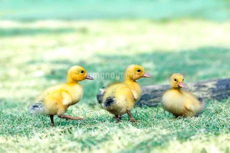 芝の公園で遊ぶ3羽のアヒルの雛達。赤ちゃん、癒し、自然、環境イメージの写真素材 [FYI03820592]