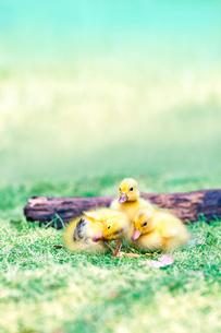 倒木と3羽のアヒルの雛。赤ちゃん、癒し、自然、環境イメージの写真素材 [FYI03820593]