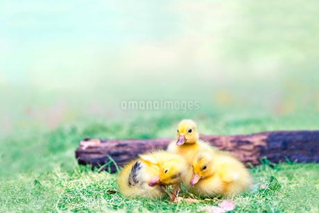 倒木と3羽のアヒルの雛。赤ちゃん、癒し、自然、環境イメージの写真素材 [FYI03820594]