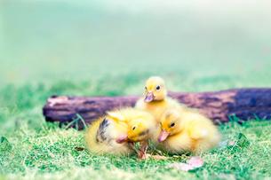 倒木と3羽のアヒルの雛。赤ちゃん、癒し、自然、環境イメージの写真素材 [FYI03820595]