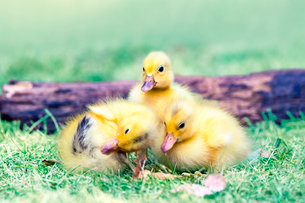 倒木と3羽のアヒルの雛。赤ちゃん、癒し、自然、環境イメージの写真素材 [FYI03820596]