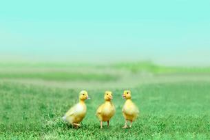 草原を散歩する3羽のアヒルの雛。癒し、赤ちゃん、子供、環境、自然イメージの写真素材 [FYI03820597]