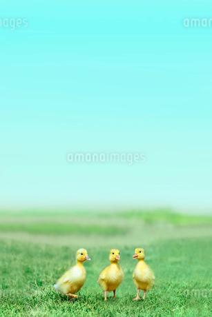 草原を散歩する3羽のアヒルの雛。癒し、赤ちゃん、子供、環境、自然イメージの写真素材 [FYI03820598]