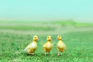 草原を散歩する3羽のアヒルの雛。癒し、赤ちゃん、子供、環境、自然イメージの写真素材 [FYI03820599]