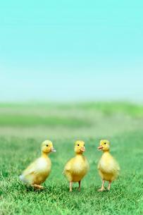 草原を散歩する3羽のアヒルの雛。癒し、赤ちゃん、子供、環境、自然イメージの写真素材 [FYI03820600]