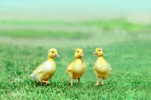 草原を散歩する3羽のアヒルの雛。癒し、赤ちゃん、子供、環境、自然イメージの写真素材 [FYI03820601]