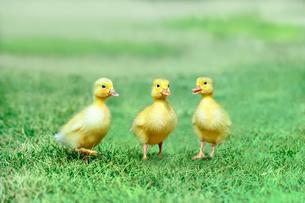草原を散歩する3羽のアヒルの雛。癒し、赤ちゃん、子供、環境、自然イメージの写真素材 [FYI03820602]