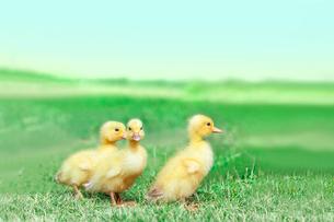 草原を散歩する3羽のアヒルの雛。癒し、赤ちゃん、子供、環境、自然イメージの写真素材 [FYI03820603]