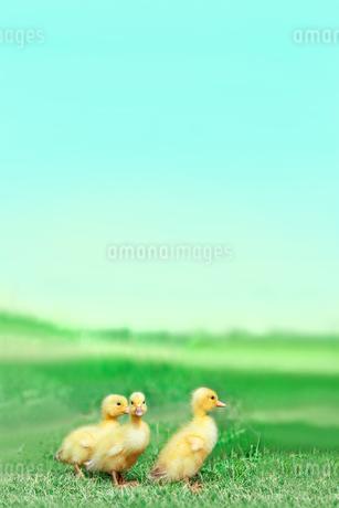 草原を散歩する3羽のアヒルの雛。癒し、赤ちゃん、子供、環境、自然イメージの写真素材 [FYI03820604]