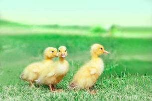 草原を散歩する3羽のアヒルの雛。癒し、赤ちゃん、子供、環境、自然イメージの写真素材 [FYI03820605]