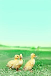 草原を散歩する3羽のアヒルの雛。癒し、赤ちゃん、子供、環境、自然イメージの写真素材 [FYI03820606]