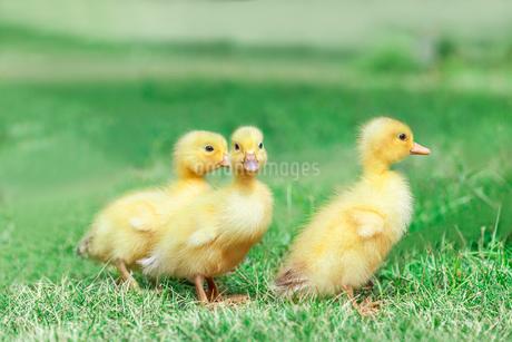 草原を散歩する3羽のアヒルの雛。癒し、赤ちゃん、子供、環境、自然イメージの写真素材 [FYI03820607]