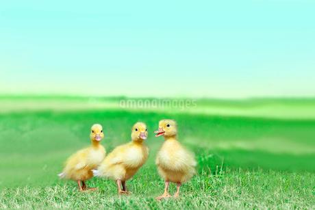 草原を散歩する3羽のアヒルの雛。癒し、赤ちゃん、子供、環境、自然イメージの写真素材 [FYI03820608]