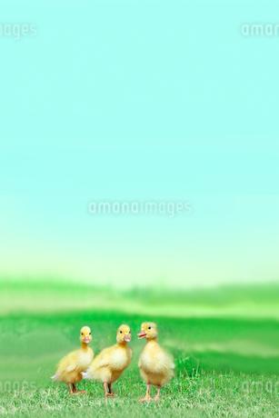 草原を散歩する3羽のアヒルの雛。癒し、赤ちゃん、子供、環境、自然イメージの写真素材 [FYI03820609]