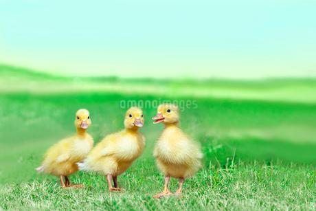 草原を散歩する3羽のアヒルの雛。癒し、赤ちゃん、子供、環境、自然イメージの写真素材 [FYI03820610]
