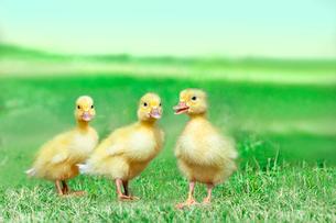 草原を散歩する3羽のアヒルの雛。癒し、赤ちゃん、子供、環境、自然イメージの写真素材 [FYI03820612]