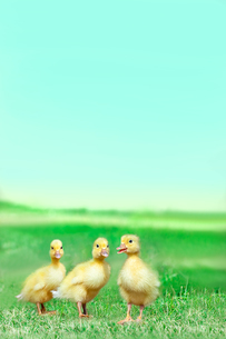 草原を散歩する3羽のアヒルの雛。癒し、赤ちゃん、子供、環境、自然イメージの写真素材 [FYI03820613]