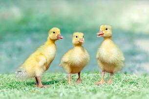 草原を散歩する3羽のアヒルの雛。癒し、赤ちゃん、子供、環境、自然イメージの写真素材 [FYI03820614]