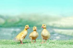 草原を散歩する3羽のアヒルの雛。癒し、赤ちゃん、子供、環境、自然イメージの写真素材 [FYI03820616]