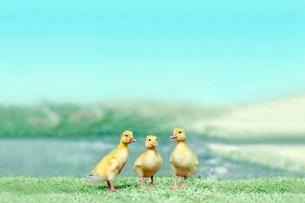 草原を散歩する3羽のアヒルの雛。癒し、赤ちゃん、子供、環境、自然イメージの写真素材 [FYI03820617]