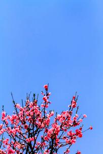 青空と桃の花の写真素材 [FYI03820842]