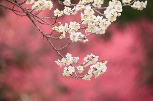 ウメの花の写真素材 [FYI03820921]