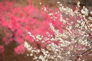 ウメの花の写真素材 [FYI03820932]