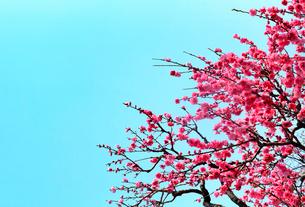 青空と桃の花の写真素材 [FYI03821021]