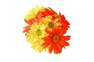 ガーベラと菊の花束の写真素材 [FYI03821141]