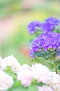 紫と白の花の写真素材 [FYI03821211]