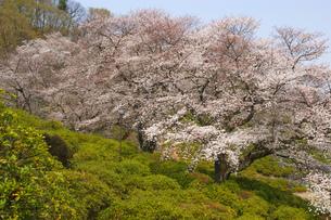 桜と青空の写真素材 [FYI03821214]