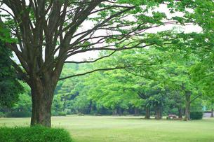 大木と新緑の写真素材 [FYI03821216]