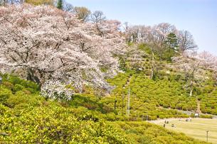 桜と青空の写真素材 [FYI03821227]