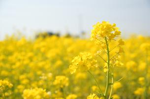 菜の花畑の写真素材 [FYI03821228]