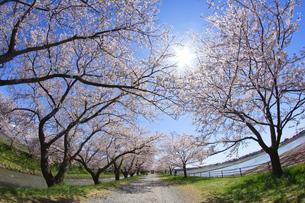 桜と青空の写真素材 [FYI03821230]