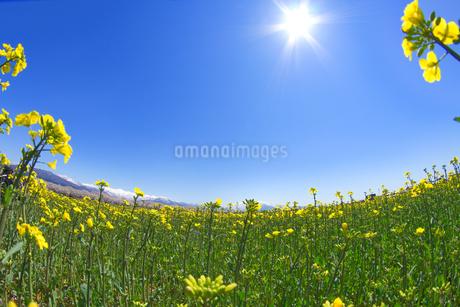 菜の花畑の写真素材 [FYI03821232]
