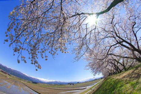 桜と青空の写真素材 [FYI03821233]