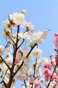 桃の花の写真素材 [FYI03821274]