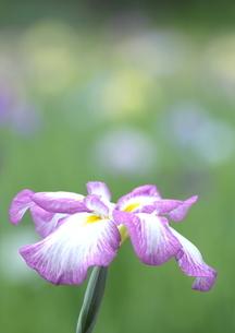 菖蒲咲き乱れる初夏の頃の写真素材 [FYI03821283]