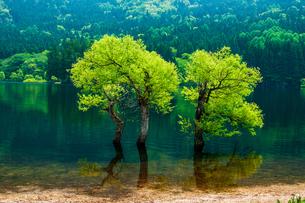 北竜湖 湖中の新緑の樹の写真素材 [FYI03821294]