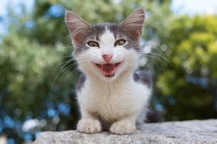 イスタンブール 声をあげるグレーと白柄の子猫の写真素材 [FYI03821369]